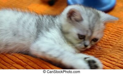Silver color british kitten lies on orange cloth, closeup...