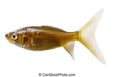 Silver Comet Fish