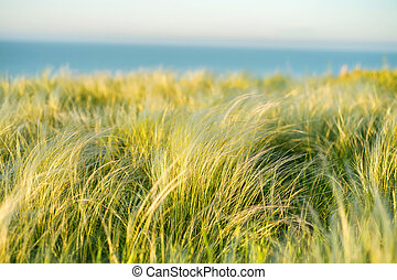 Silver feather grass swaying in wind in steppe - Feather or...