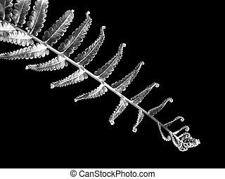 Silver Fern leaf on black background