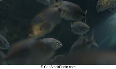 Silver fish swimming in big aquarium
