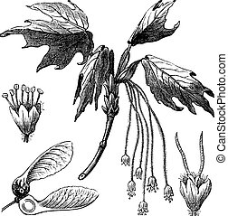 Silver Maple or Creek Maple or River Maple or Silverleaf Maple or Soft Maple or Water Maple or White Maple or Acer saccharinum, vintage engraving. Old engraved illustration of Silver Maple showing flowers and winged seed (lower left).
