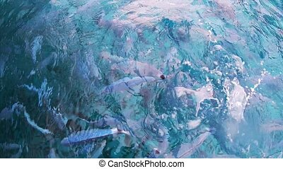 Silver ocean fish swims at the camera. Fish in transparent...