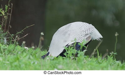 Silver pheasant (Lophura nycthemera) searching for food in grass of field.