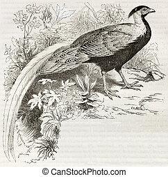 Silver Pheasant old illustration (Lophura Nicthemera)....