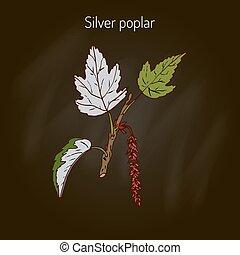 Silver poplar tree