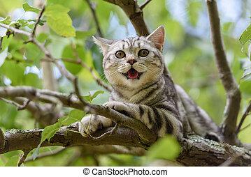 Silver Scottish Straight Cat - Kitten of a scottish straight...