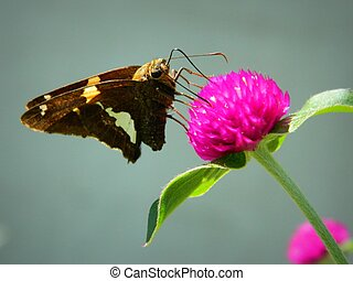 Silver-spotted skipper on Flower