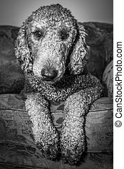 Silver Standard Poodle - Black and White