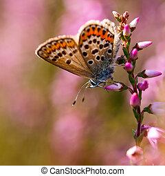 Silver studded Blue Butterfly (Plebeius argus) on Heath - ...