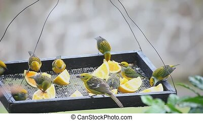 Silver-throated Tanagers at feeder - Silver-throated...