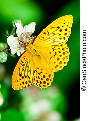Silver washed Fritilary butterfly on blackberry blossom...