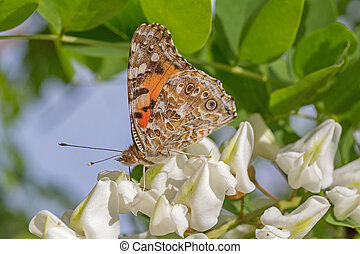 butterfly on white acacia blossoming