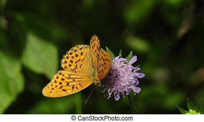 silver-washed, fritillary