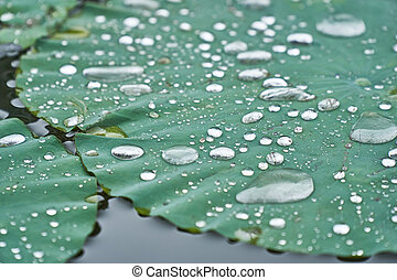 Silver water drops on a lotus water lily after rain.