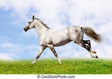 silver-white, étalon, galoper, sur, champ