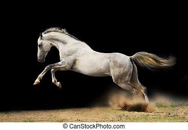 silver-white, étalon, sur, noir