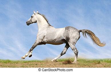 silver-white, garanhão