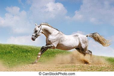 silver-white, garanhão, ligado, campo