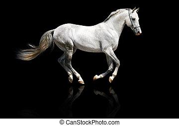 silver-white, hengst, galoppieren