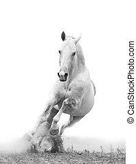 silver-white, hengst