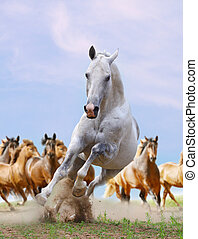 white horse and herd - silver white horse and herd running...