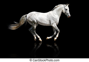 silver-white, stallone, galloping