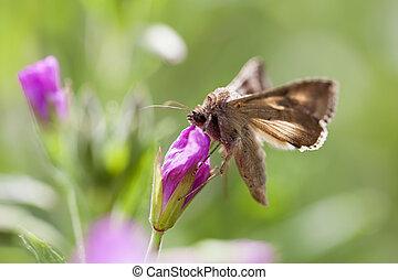 Silver Y - Autographa gamma - collecting nectar in macro...