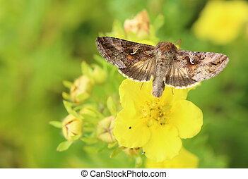 Silver Y (Autographa gamma) moth sitting on cinquefoil...