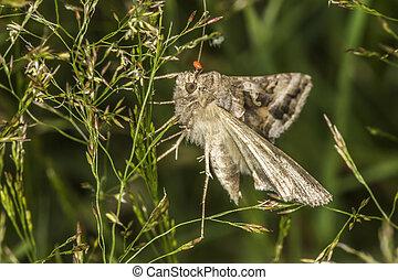 Silver Y moth (Autographa gamma) - A silver Y moth is...