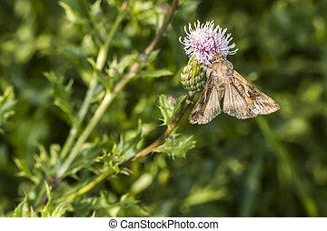 Silver Y moth (Autographa gamma) - A silver Y moth suckles...