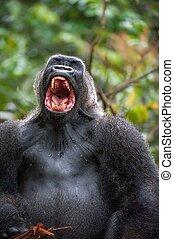 Silverback - adult male of a gorilla. Western Lowland...
