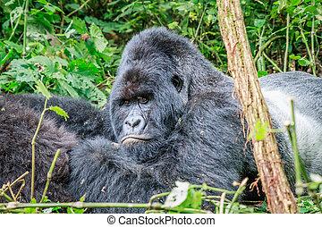 silverback, basierend, gorilla., berg