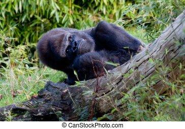 silverback, berggorilla