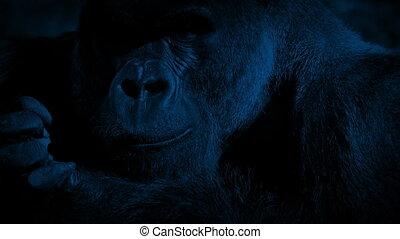 Silverback Gorilla Eating In Night Jungle