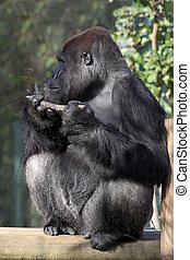 silverback gorilla, mann