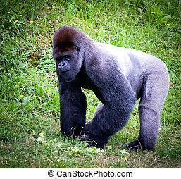 silverback gorilla in a meadow