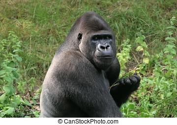 Silverback gorilla - Big gorilla looking menacing at the...