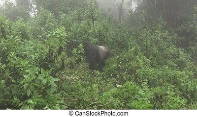 Silverback mountain gorilla approaches to tourists