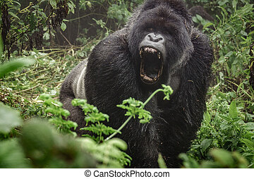 Silverback mountain gorilla in the misty forest opening...