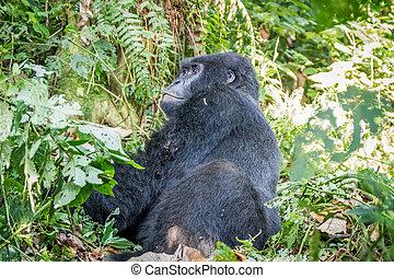 Silverback Mountain gorilla sitting.