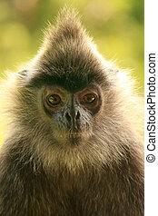 Silvered leaf monkey, Sepilok, Borneo, Malaysia - Portrait...