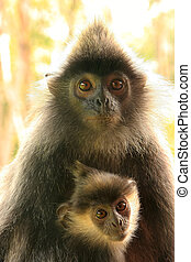 Silvered leaf monkey with a baby, Borneo, Malaysia -...