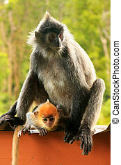 Silvered leaf monkey with a young baby, Borneo, Malaysia -...