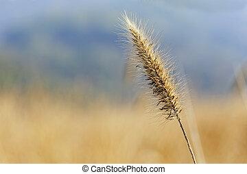 silvergrass over the mountain in autumn