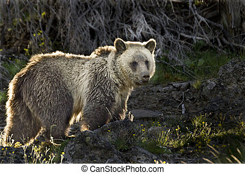 Silvertip Grizzly Bear - Morning sunlight backlights a wild...
