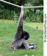 Silvery gibbon on the grass, hanging on a rope