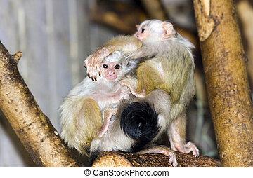 Silvery marmoset (Callithrix argentata or Mico argentatus) baby