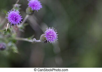 Silybum Marianum, Milk Thistle flower head, native of Southern Europe through to Asia, with shallow depth of field