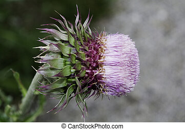 Silybum marianum, milk thistle, flower nearly ready to burst into blown seeds, the part known for herbal medicinal properties.